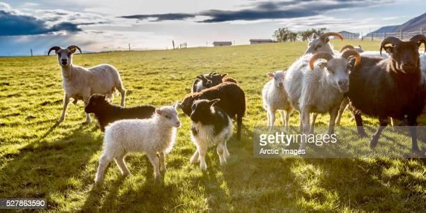 Sheep farming, Eastern Iceland