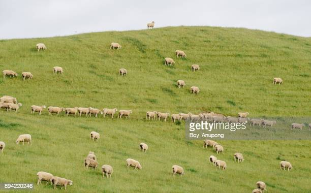 Sheep farming in New Zealand.
