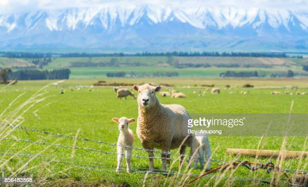 Sheep farming in Otago region of South Island of New Zealand.