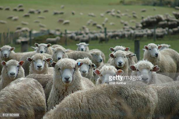 Sheep Farming, Southland Region , South Island