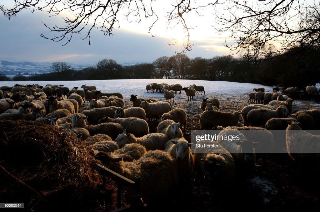 Sheep feed on the Begwn Hills as the temperatures stay below freezing on January 9, 2010 in Hay-On-Wye, United Kingdom.