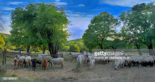 sheep feeders panorama 2 - dimitrios tilis stock pictures, royalty-free photos & images