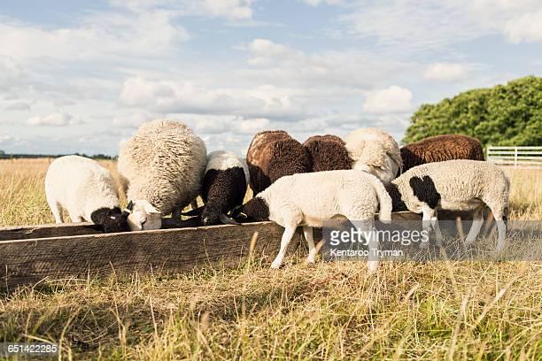 Sheep feeding in trough at farm against sky