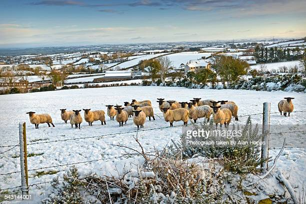 Sheep flock in the snow