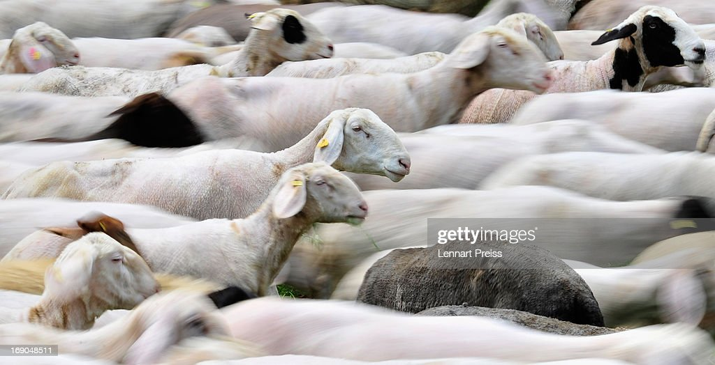 A sheep flock moves over a meadow prior to an annual sheep drive through the town on May 19, 2013 in Moernsheim, Germany. The annual event in the Altmuehltal region of northern Bavaria, which is know for its lamb production, coincides with Pentecost.