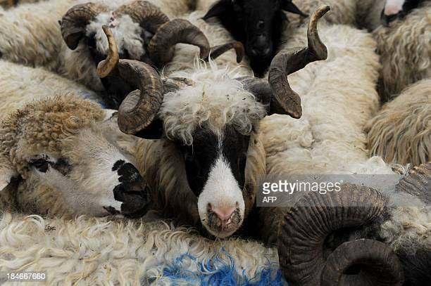 Sheep for sale are pictured at a livestock market near Pristina on October 15 2013 during the Muslim Eid alAdha celebrations Muslims across the world...