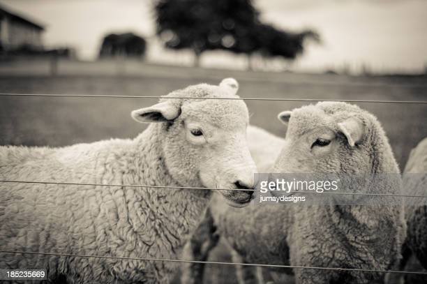 Sheep friendship in Black and Whtie.