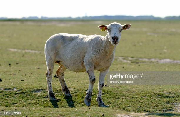 Sheep from salt marsh is grazing on June 24, 2020 in the Somme Bay, Hauts-de-France région of France. Here ia a Boulonnaise breed a low-strength...