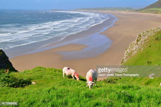 sheep front of long beach - gower peninsula stock photos and pictures