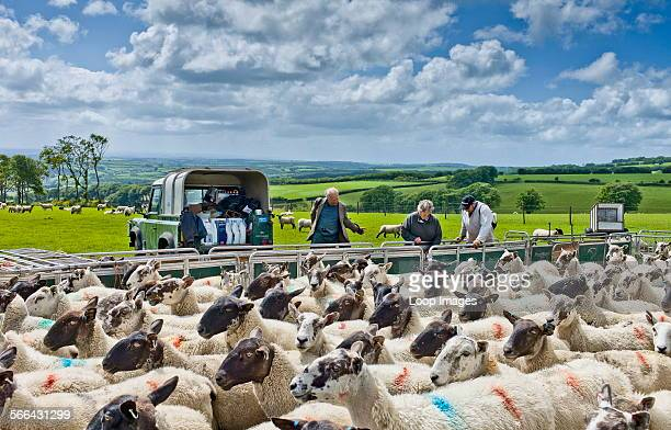 Sheep gathered in for drenching to rid them of intestinal parasites