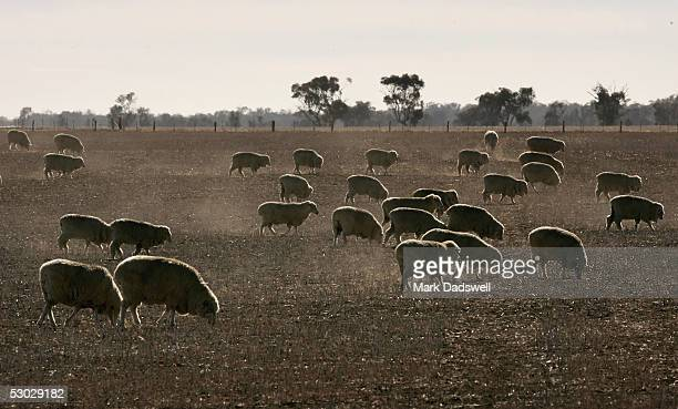 Sheep graze a dusty paddock June 2 2005 in Natimuk Australia It has been the seconddriest January to April period on record and the Bureau of...