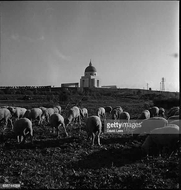 Sheep graze at EUR in Rome