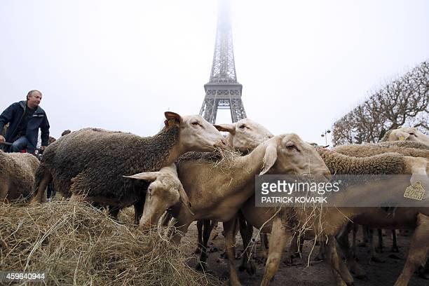 Sheep graze at the Champ de Mars near the Eiffel Tower in Paris during a protest by farmers demanding an effective plan by the ecology ministry to...