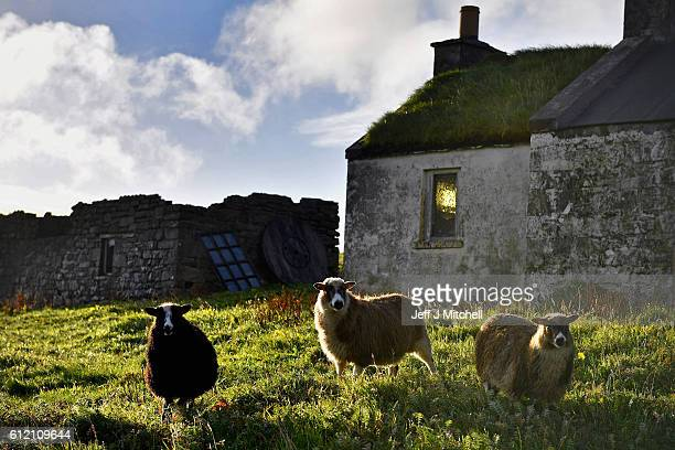Sheep graze beside an old cottage on the Island of Foula on September 29 2016 in Foula Scotland Foula is the remotest inhabited island in Great...