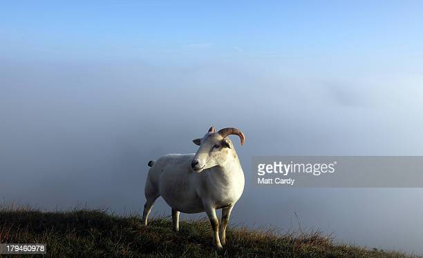 Sheep graze beside the 14thcentury St Michael's Tower on Glastonbury Tor as the sun rises and begins to clear the early morning mist and fog near the...