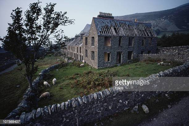 Sheep graze by the derelict housing of an abandoned quarrying village Gwynedd Wales June 1983