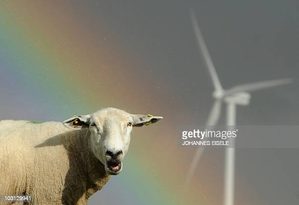 Sheep graze close to electricity generating wind turbines as a rainbow is seen in the background on July 26 2010 near the northern German town of...