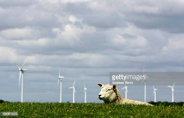 Sheep graze close to electricity generating wind turbines on June 12 2005 in Reussenkoege near Husum in northern Germany Germany accounts for nearly...