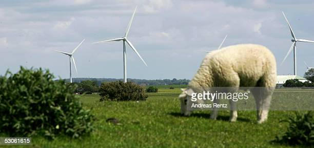 Sheep graze close toeElectricity generating wind turbines on June 12 2005 in Reussenkoege near Husum in northern Germany Germany accounts for nearly...
