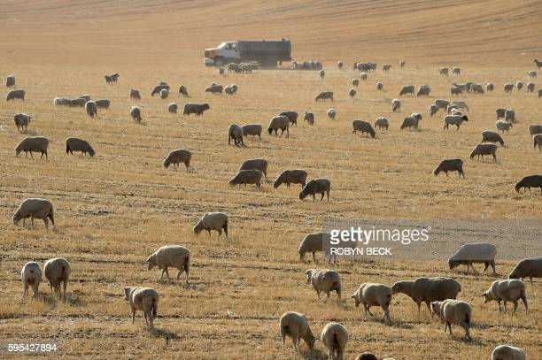 Sheep graze in a dry field near the town of McFarland in California's Central Valley August 24 2016 The Central Valley is the states agriculture hub...