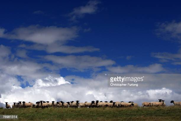 Sheep graze in a field as all livestock transportation is banned in the wake of the Foot and Mouth disease outbreak in Surrey August 6, 2007 in...