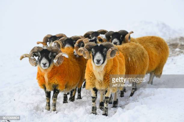 Sheep graze in a field as the Met Office upgrades its weather warning across the country on January 19 2018 in Thornhill Scotland Forecasters have...