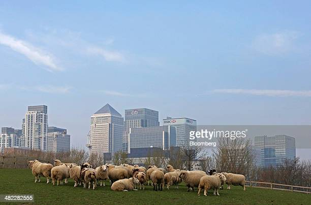 Sheep graze in a field at Mudchute farm on the Isle of Dogs near the headquarters of HSBC Holdings Plc right the offices of Citigroup Inc center and...