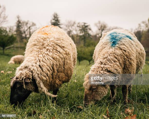 Sheep graze in a field at the Stone Barns farm in Pocantico Hills New York US on Friday April 21 2017 As customers are increasingly demanding...