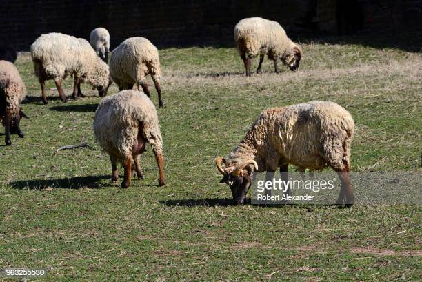 Sheep graze in a pen at Mount Vernon the plantation owned by George Washington the first President of the United States in Fairfax County Virginia...