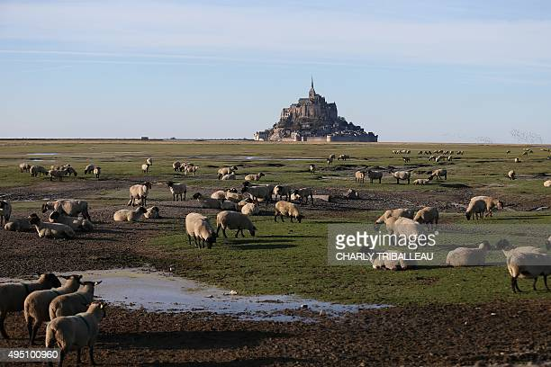 Sheep graze in front of the MontSaintMichel on October 31 2015 in Normandy northwestern France AFP PHOTO/CHARLY TRIBALLEAU