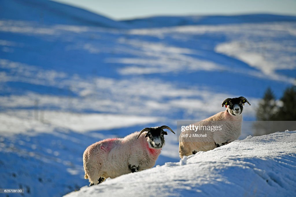 Sheep graze in the snow at the highest village on November 25, 2016 in Wanlockhead,Scotland. Widespread hard frost and patchy fog continues across many parts of Scotland and Northern Ireland.