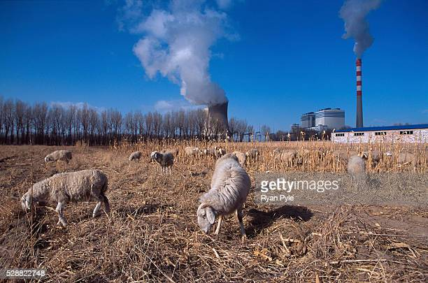 Sheep graze on a field next to a coal power plant in Baotou, Inner Mongolia, China. Baotou is an excellent example of a one-industry town, and that...