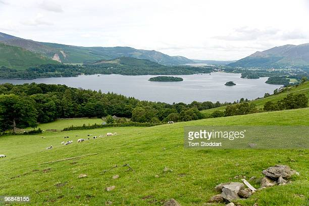 Sheep graze on a hillside at Ashness farm overlooking Lake Derwentwater in the Lake District England The beautiful area supports a mixture of rural...