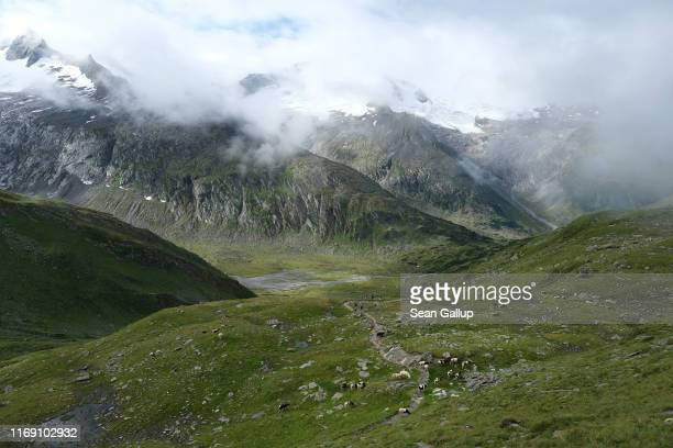 Sheep graze on an alpine meadow high above valleys ground smooth by the retreating Schwarzensteinkees, Hornkees and Waxeggkees glaciers in the...