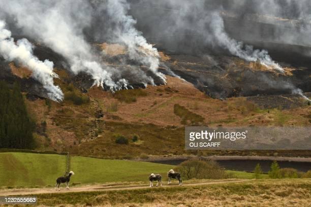 Sheep graze on the hillside as smoke is seen after a resurgence of the moor fire on Marsden Moor, near Huddersfield in northern England on April 27,...