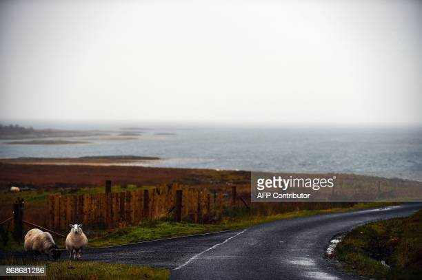Sheep graze on the Isle of Ulva off Scotland's west coast on October 20 2017 When tycoons in helicopters began landing on Scotland's Isle of Ulva its...