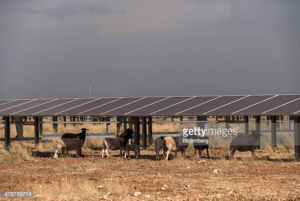 Sheep graze the grassland beneath photovoltaic panels in the Sishen solar park operated by Acciona SA in Kathu Northern Cape South Africa on Tuesday...
