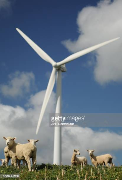 Sheep graze under a wind turbine at Te Apiti wind farm in Manawatu Gorge 10 kilometres from the city of Palmerston North during the 2011 Rugby World...