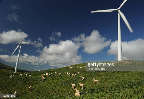 Sheep graze under wind turbines at Te Apiti wind farm in Manawatu Gorge 10 kilometres from the city of Palmerston North during the 2011 Rugby World...