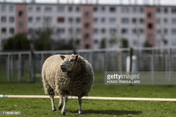 """Sheep grazes in a field of an urban farm named """"La ferme ouverte"""" in Saint-Denis, near Paris, on April 24, 2019."""
