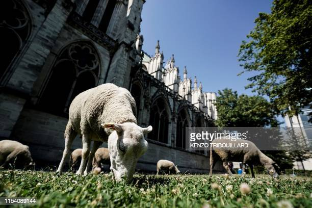 A sheep grazes in a parc near the basilica of SaintDenis before an urban transhumance in SaintDenis on July 6 2019 The shepherds of SeineSaintDenis...