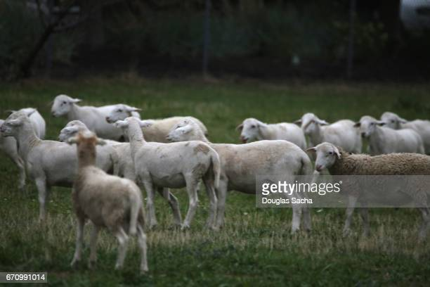 Sheep grazing a empty field (Ovis aries)