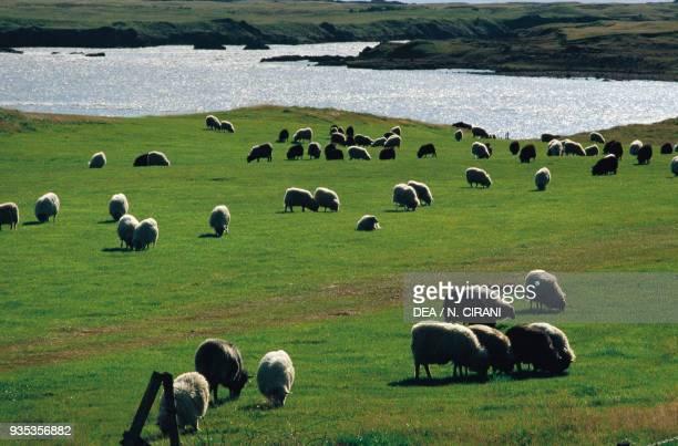Sheep grazing along the Thjorsa river Iceland