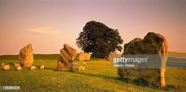 sheep grazing around ancient standing stones at sunset, at avebury stone circle in wiltshire - ウィルトシャー州 ストックフォトと画像