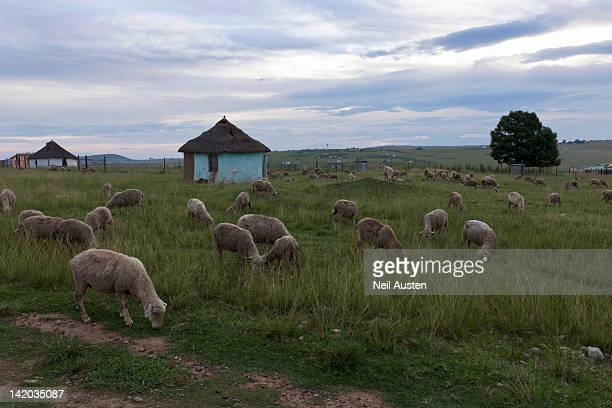 Sheep (Ovis aries) grazing around traditional Xhosa huts in Qunu, Nelson Mandela's home town as a child, Transkei Wild Coast, Eastern Cape, South Africa