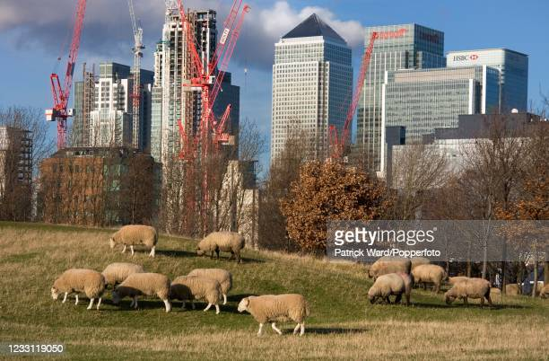 Sheep grazing at Mudchute Farm and Park, a 32-acre local Nature Reserve and the largest urban farm in Europe, on the Isle of Dogs in the London...