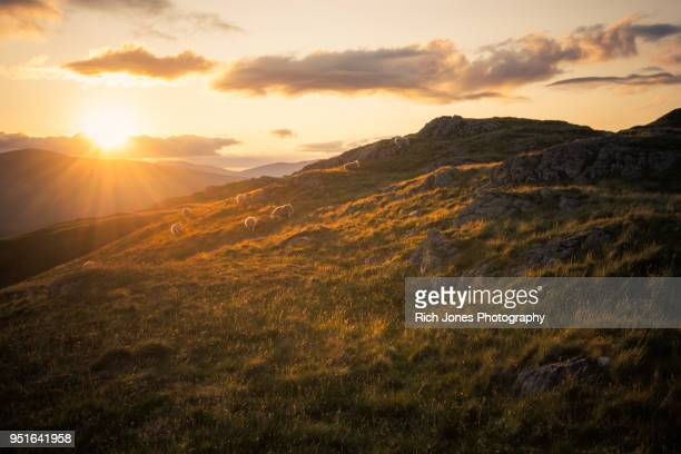 sheep grazing at sunset in english lake district - cumbria stock photos and pictures