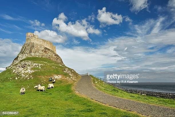 sheep grazing below lindisfarne castle - northumberland stock pictures, royalty-free photos & images