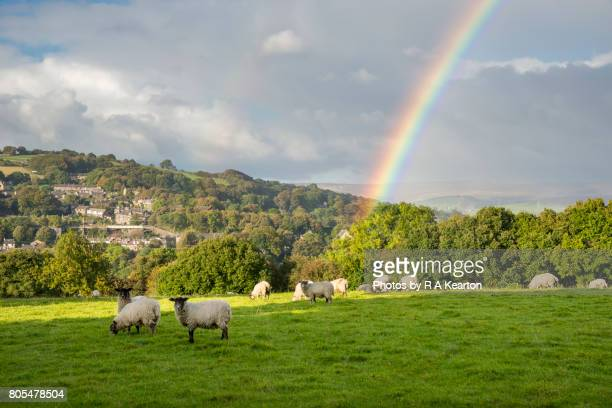 Sheep grazing beneath a vivid rainbow