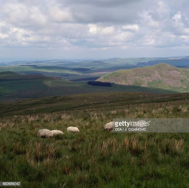 Sheep grazing Cheviot hills Scotland United Kingdom